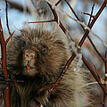 Porcupine And Berries by Marty Fancy