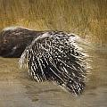Porcupine  by Betty  Pauwels