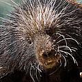 Porcupine by Ernie Echols