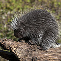 Porcupine Looking For Food by Paul Cannon