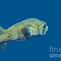 Porcupine Pufferfish by Thomas Major