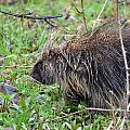 Porcupine by Robin White