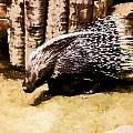 Porcupine  by Photographic Art by Russel Ray Photos