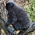 Porcupine Sleeping by Paul Cannon