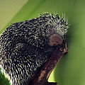 Porcupine Slumber by Melanie Lankford Photography