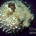 Porcupinefish by Gregory G. Dimijian