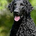 Portrait Black Curly Coated Retriever Dog by Dog Photos