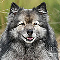 Portrait Grey Keeshond Dog by Dog Photos