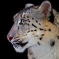 Portrait II Of A Snow Leopard by John Absher