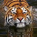 Portrait Of A Bathing Siberian Tiger by Nick  Biemans