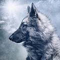 Portrait Of A Belgian Tervuren by Wolf Shadow Photography