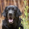 Portrait Of A Black Labrador Retriever by Zandria Muench Beraldo