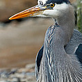 Portrait Of A Blue Heron by Athena Mckinzie