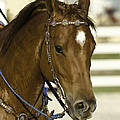 Portrait Of A Brown Horse by Jay Droggitis
