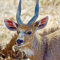 Portrait Of A Bushbuck In Kruger National Park-south Africa  by Ruth Hager