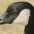 Portrait Of A Canadian Goose  by Saija  Lehtonen