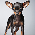 Portrait Of A Chihuahua by Alvarez