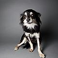 Portrait Of A Chihuahua-papillon Mix - by Amandafoundation.org