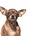 Portrait Of A Chocolate Chihuahua - The by Amandafoundation.org
