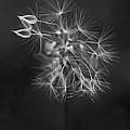 Portrait Of A Dandelion by Rona Black