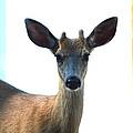 Portrait Of A Deer by Nicki Bennett