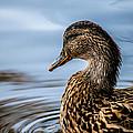 Portrait Of A Duck by Bob Orsillo
