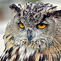 Portrait Of A Great Horned Owl II by Jim Fitzpatrick