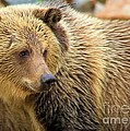 Portrait Of A Grizzly by Adam Jewell