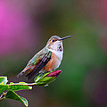 Portrait Of A Hummer 2 by Lynn Bauer