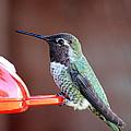 Portrait Of A Hummingbird by Carol Groenen