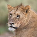 Portrait Of A Lioness, Panthera Leo by Tom Murphy