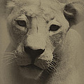 Portrait Of A Lioness by William Jones