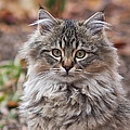 Portrait Of A Maine Coon Kitten by Rona Black