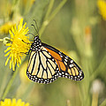 Portrait Of A Monarch by Penny Meyers