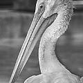 Portrait Of A Pelican by Jon Woodhams