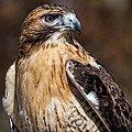 Portrait Of A Red Tailed Hawk by Dale Kincaid
