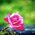 Portrait Of A Rose by Karen Majkrzak
