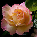 Portrait Of A Rose by Rona Black