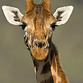 Portrait Of A Rothchilds Giraffe by Panoramic Images