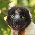 portrait of a sifaka from Madagascar by Rudi Prott