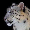 Portrait Of A Snow Leopard by John Absher