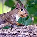 Portrait Of A Squirrel by Deena Stoddard
