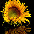 Portrait Of A Sunflower by Ness Welham