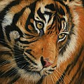Portrait Of A Tiger by David Stribbling