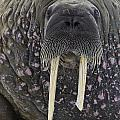 Portrait Of A Walrus by Jean-Louis Klein and Marie-Luce Hubert