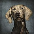 Portrait Of A Weimaraner Dog by Wolf Shadow  Photography