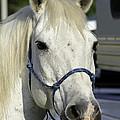 Portrait Of A White Horse by Jay Droggitis