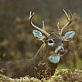 Portrait Of A White Tailed Buck by John Vose