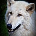 Portrait Of A White Wolf by Athena Mckinzie