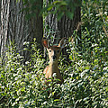 Portrait Of A Whitetail Fawn II by Timothy O'Brien
